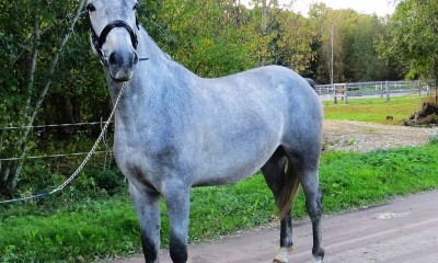 For sale 3yo gelding