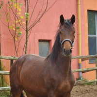 Young mare for dressage and breeding