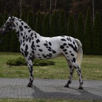 Great spotted mare for jumping/leasiure/breeding