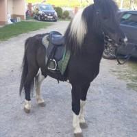Pony Stallion Haidas