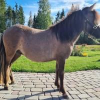 Shetlandi poni ruun