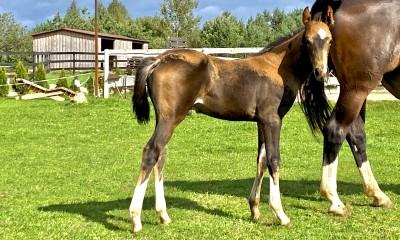 Half Akhalteke foals