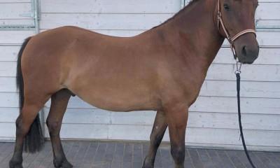 Müüa eesti tõugu hobune Teemant