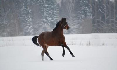 Zangersheide 3aastane mära